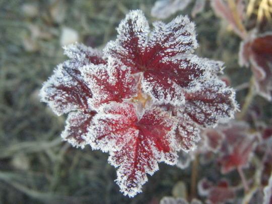 Frosty Gooseberry
