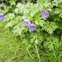Geranium (Cranesbill) 'Johnson's Blue' in Lobby Border,Vistabile 05.08 (Geranium)
