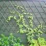Lonicera Mint Crisp (honeysuckle)