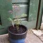 the gardeners world Acer!