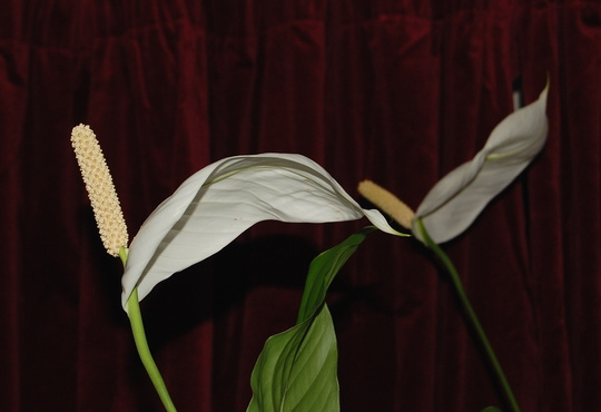 Peace Lily (Spathiphyllum floribundum (Snowflower))