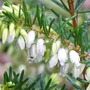 Garden jewel revealed 2 (Erica carnea (Winter heath))