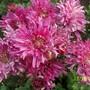 100 1967 pink chrysanthemum