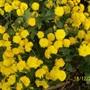 100 1968 yellow button chrysanthemum