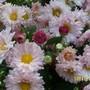 100 1970 light pink chrysanthemum
