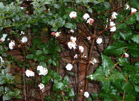 WINTER BLOSSOM ... HAPPY GARDENING in 2011  :o)