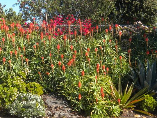 My Neighbor's Blooming Aloe, Jade Shrubs and Agave (Jade, Aloe, Agave)
