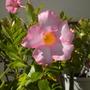 My Mandevilla splendens 'Red Ridding Hood' Flower (Mandevilla splendens 'Red Ridding Hood')