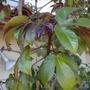 Jatropha gossipifolia - Bellyache Bush (Jatropha gossipifolia - Bellyache Bush)
