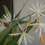 Epiphyllum 'Golden Charm' Blooming (Epiphyllum 'Golden Charm' Blooming)