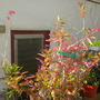 My Epidendrum Red-Orange Orchids (My Epidendrum Red-Orange Orchids)