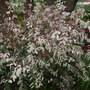 Breynia nivosa - Hawaiian Snow Bush (Breynia nivosa - Hawaiian Snow Bush)