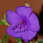 Tibouchina (Tibouchina urvilleana (Lasiandra))