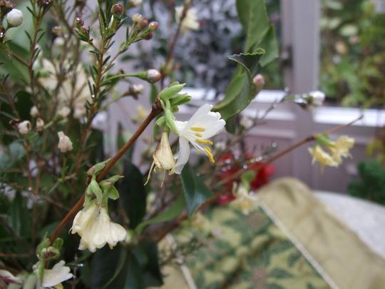 Winter Honeysuckle (Fragrantissima) (Lonicera fragrantissima)