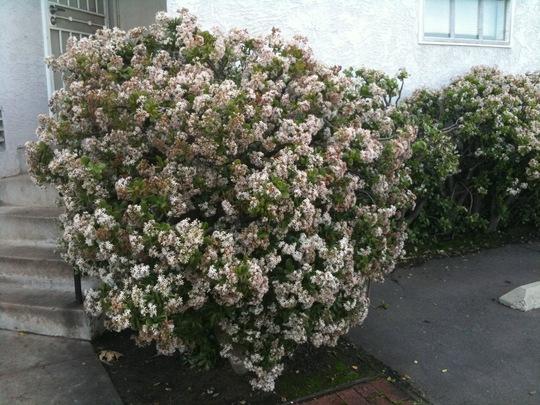 Crassula ovata - Jade Plant, Shrub (Crassula ovata - Jade Plant, Shrub)