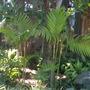 Areca triandra - Triandra Palm (Areca triandra - Triandra Palm)