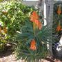 Aloe Blooming at Paradise Point Resort (Aloe arborescens)