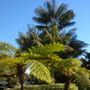 Australian Tree Ferns, Kentia Palms at Paradise Point Resort (Cyathea cooperi - Australian Tree fern , Howea fosteriana - Kentia Palm)