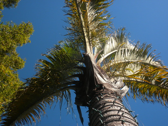 Looking up a Triangle Palm (Dypsis decaryi) (Triangle Palm (Dypsis decaryi))