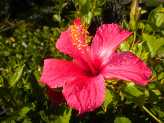 Hibiscus rosa-sinensis 'Brilliant' or 'San Diego Red' (Hibiscus rosa-sinensis 'Brilliant' or 'San Diego Red')