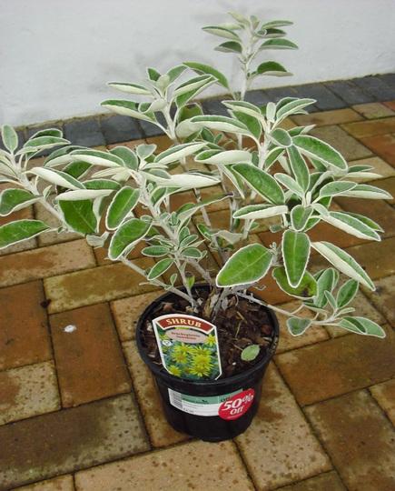 Brachyglottis 'Sunshine'  (Shrubby Ragwort)  Silvery shrub (Brachyglottis compacta (Senecio))