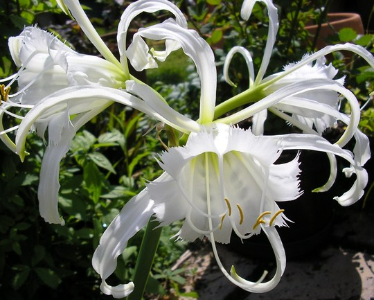 Hymenocallis festalis (Hymenocallis festalis)