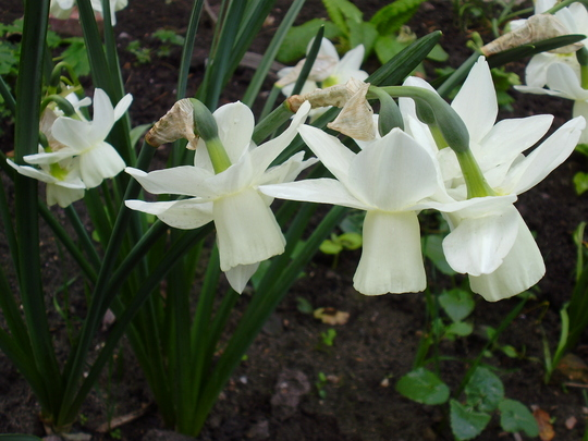 Ice wings (Narcissus triandrus (Angels Tears))