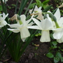 Narcissus triandrus (Angels Tears)