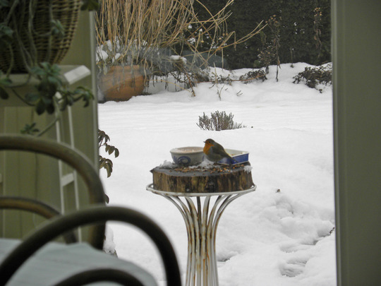 a robin is eating the whole lot (in our birds' restaurant, so called by our grandchildren)