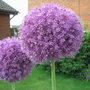 Allium_giganteum.jpg