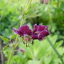 Geranium Samobor (Geranium phaeum (Mourning widow))