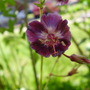 Samobor (Geranium phaeum (Mourning widow))