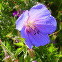 Geranium Orion (Geranium)