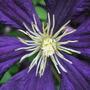 Clematis_viticella_etoile_violette.jpg