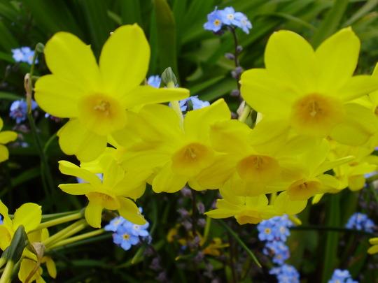 Jonquil (Narcissus jonquilla (Jonquil))