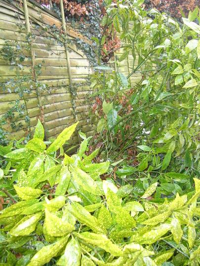 Poor Aucuba (Aucuba japonica (Spotted Laurel))