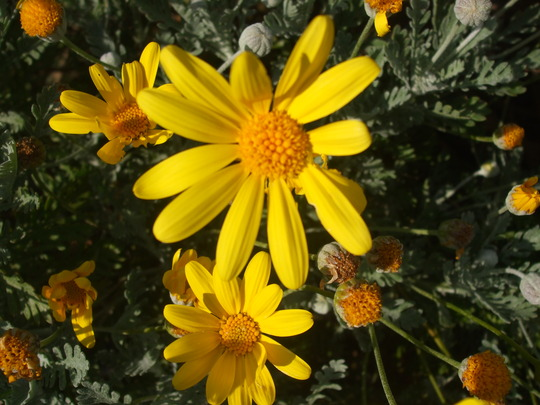 eucomis (Eucomis autumnalis (Amathunga))