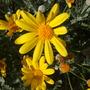 Eucomis autumnalis