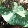 Alocasia macrorrhiza variegated  (Alocasia macrorrhiza variegated form)
