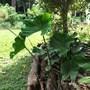 Alocasia stingray (Alocasia stingray)