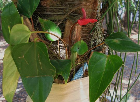 """Anthurium andreanum mini """"red"""" (Anthurium andreanum """"red"""")"""