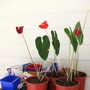 Anthurium andreanum 4 new colours (Anthurium andreanum)
