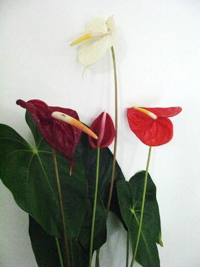 Anthurium andreanum 4 new colours