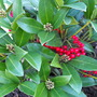 Another Skimmia