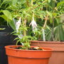 greenhouse (Fuchsia magellanica (Hardy fuchsia))