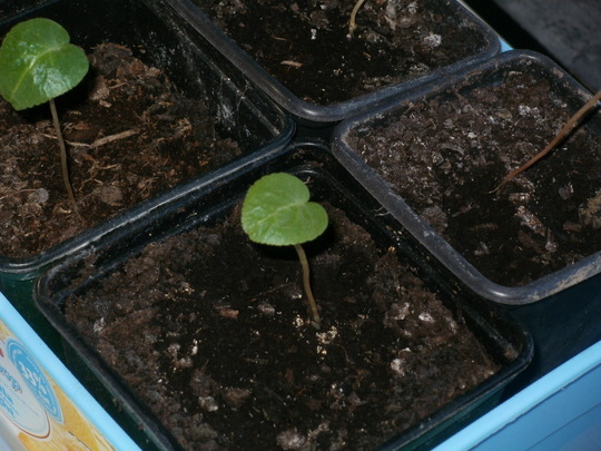 cyclamen seedlings (Cyclamen Persicum (ScentSation Strain))