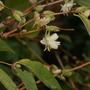 my winter honeysuckle (Lonicera fragrantissima (Shrubby honeysuckle))