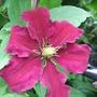 Clematis_niobe_first_flower