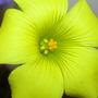 Bermuda buttercup(Oxalis pes-caprae)
