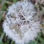 Frosted dandelion seedhead